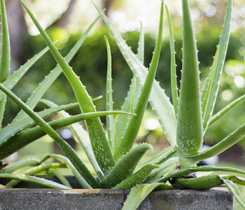 Benefits of Aloe Vera on Your Skin (including your most sensitive skin)