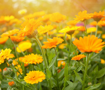 The Unsung Hero Ingredient in Tonic No2: Calendula