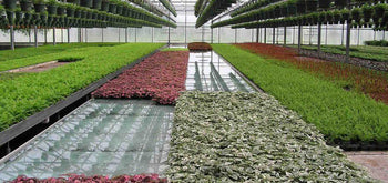 Plants Growing Hydroponically in Commercial Flood and Drain/Ebb and Flow Trays