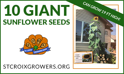 Giant Sunflower Seeds