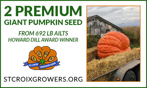 Premium Giant Pumpkin Seed: 692lb Ailts Prettiest Pumpkin