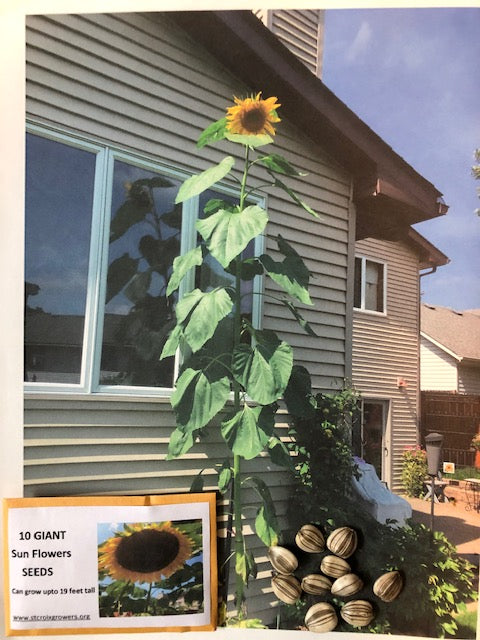 Giant Sunflower Seed