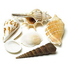 SHELLS - DECORATIVE NATURAL  3 1/2 INCH