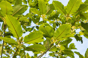 How To Grow Kratom Trees At Home? (From Kratom Seeds)