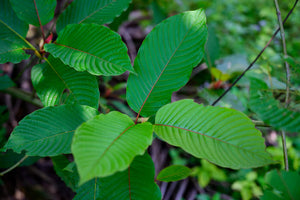 Which Are The Most Remarkable Red Thai Kratom Effects?