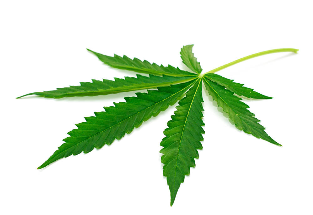 hemp leaves