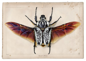 """Goliath Beetle"" - Evi Antonio"