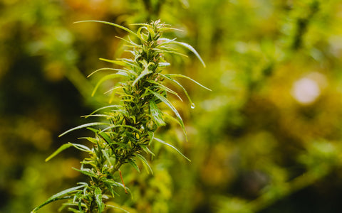 Where does hemp seed oil come from? Hemp is similar to cannabis but not entirely
