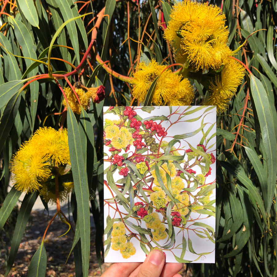 Eucalyptus erythrocorys, Red-capped gum / Illyarrie Art Card Art Card painted by Philippa Nikulinsky - studio Nikulinsky