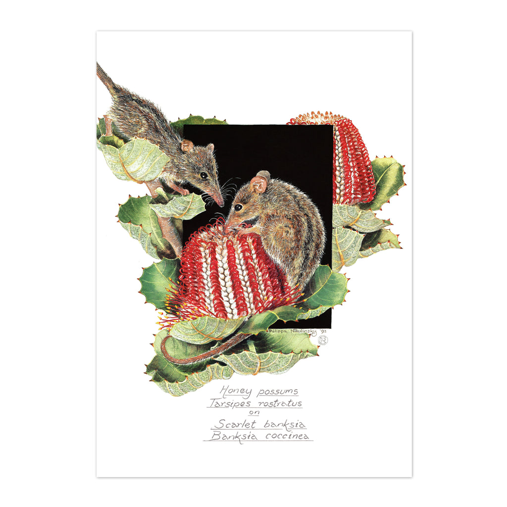 Honey Possums on Scarlett Banksia Fine Art Print Fine Art Print painted by Philippa Nikulinsky - studio Nikulinsky