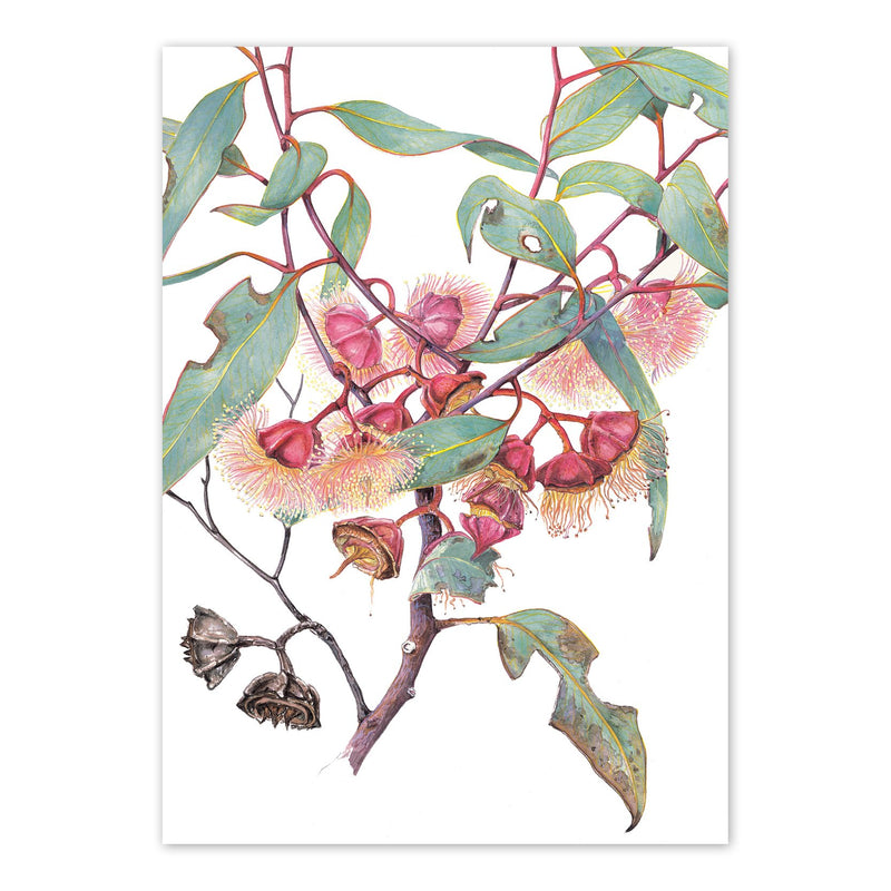Eucalyptus pachyphylla, Thick-leaved Mallee Art Card Art Card painted by Philippa Nikulinsky - studio Nikulinsky