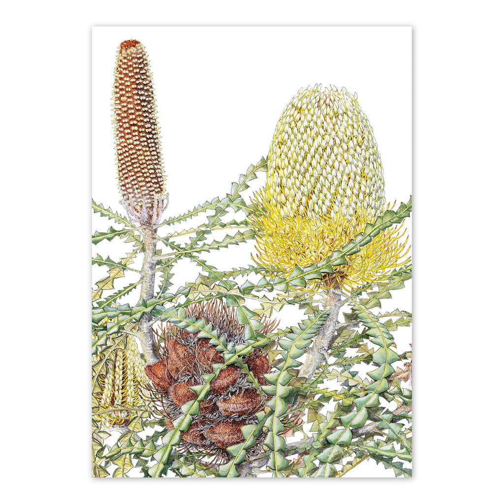 studio-nikulinsky A6 Card: Showy Banksia by Philippa Nikulinsky
