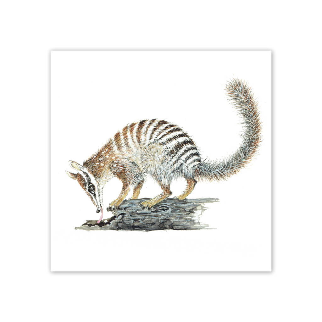 studio-nikulinsky Square Card: Numbat by Philippa Nikulinsky