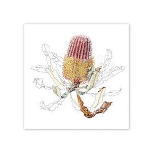 Open image in slideshow, studio-nikulinsky Square Card: Firewood Banksia by Philippa Nikulinsky