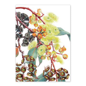 studio-nikulinsky A6 Card: Eucalyptus Lemon-flowered Mallee by Philippa Nikulinsky