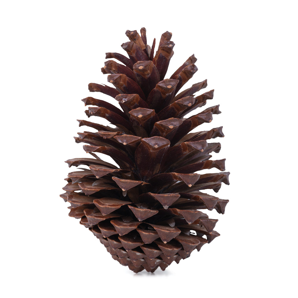 Giant Pine Cone