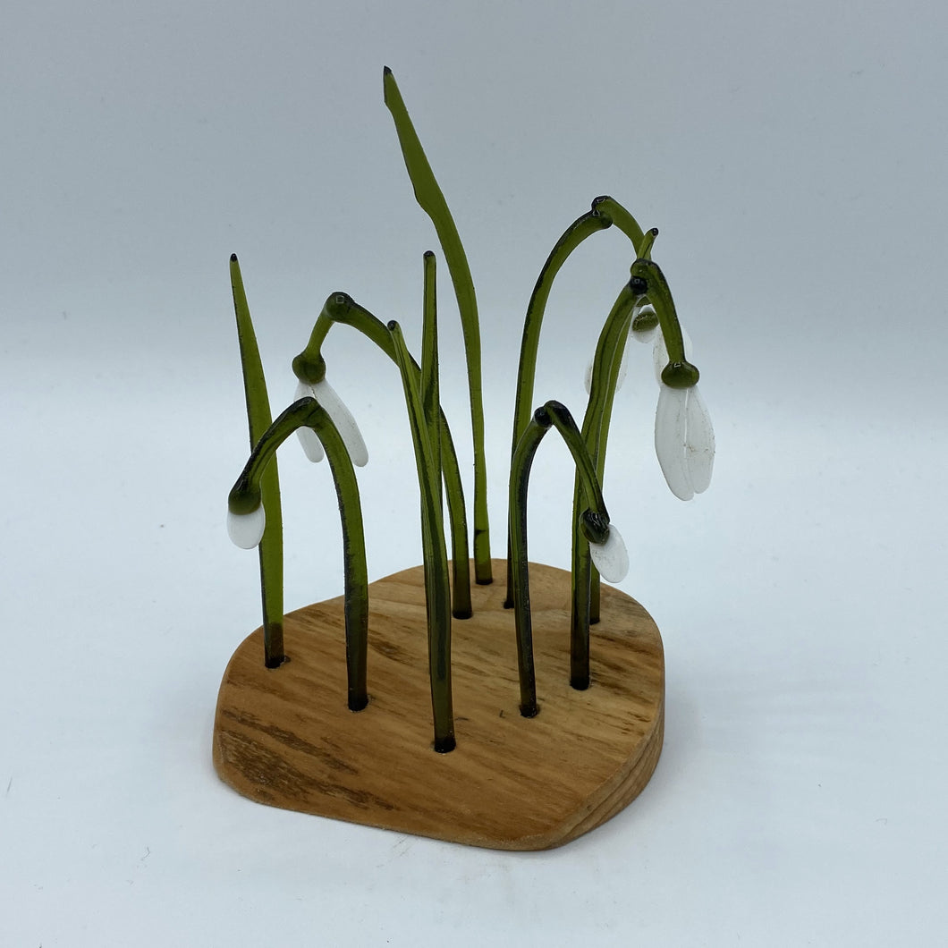 Snowdrop Clump in Wood