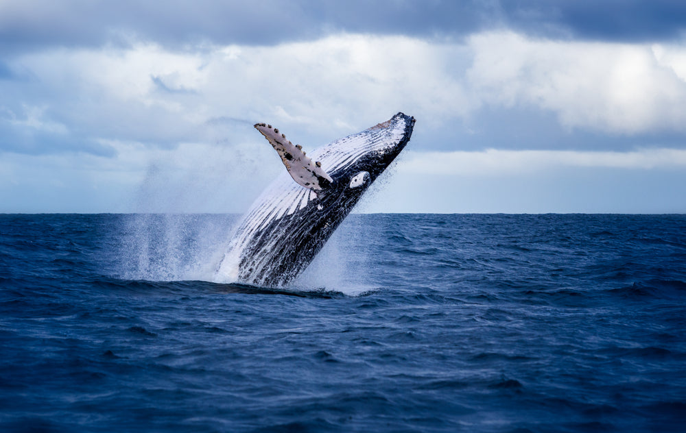 Whales Are Facing a Crisis Created By Humans. Can We Help Save Them?