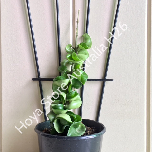 Hoya compacta Indian Rope H26