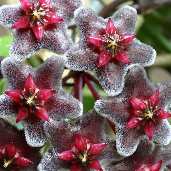 Hoya pubicalyx Red Buttons H115
