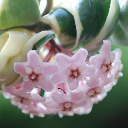 Hoya compacta Indian Rope - outside variegate H43