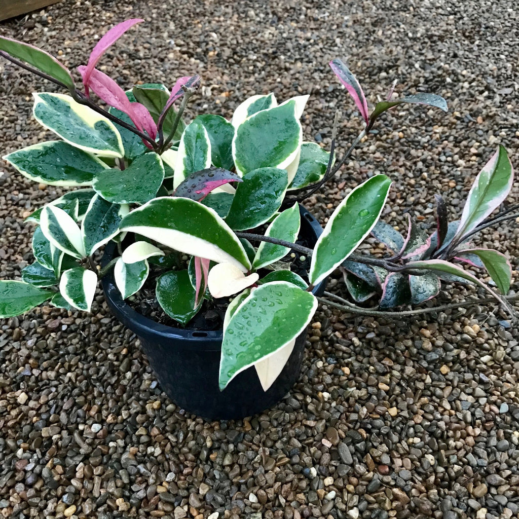 Auction #1: Hoya carnosa variegata 'Purple Pride' H216