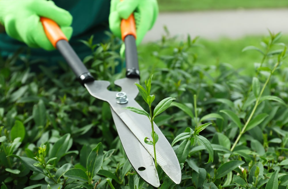 Secateurs trimming hedge