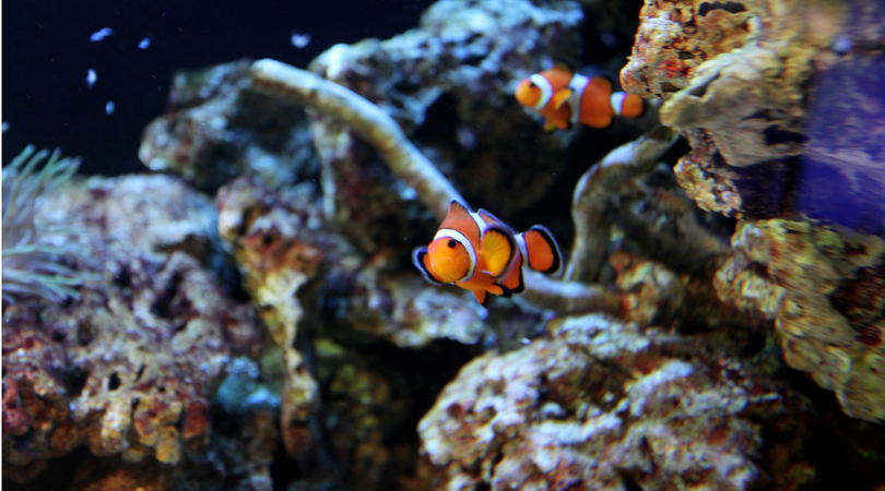 The Clownfish: the matriarch