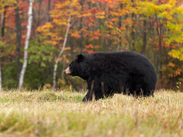 Some Fun Facts for Pennsylvania Bear Season