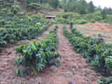 Rows of coffee trees