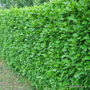 Hedge planting—Some tips on getting it right
