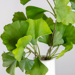 "26"" Ginko Spray"