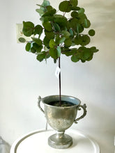 Eucalyptus Topiary in Pot 30""
