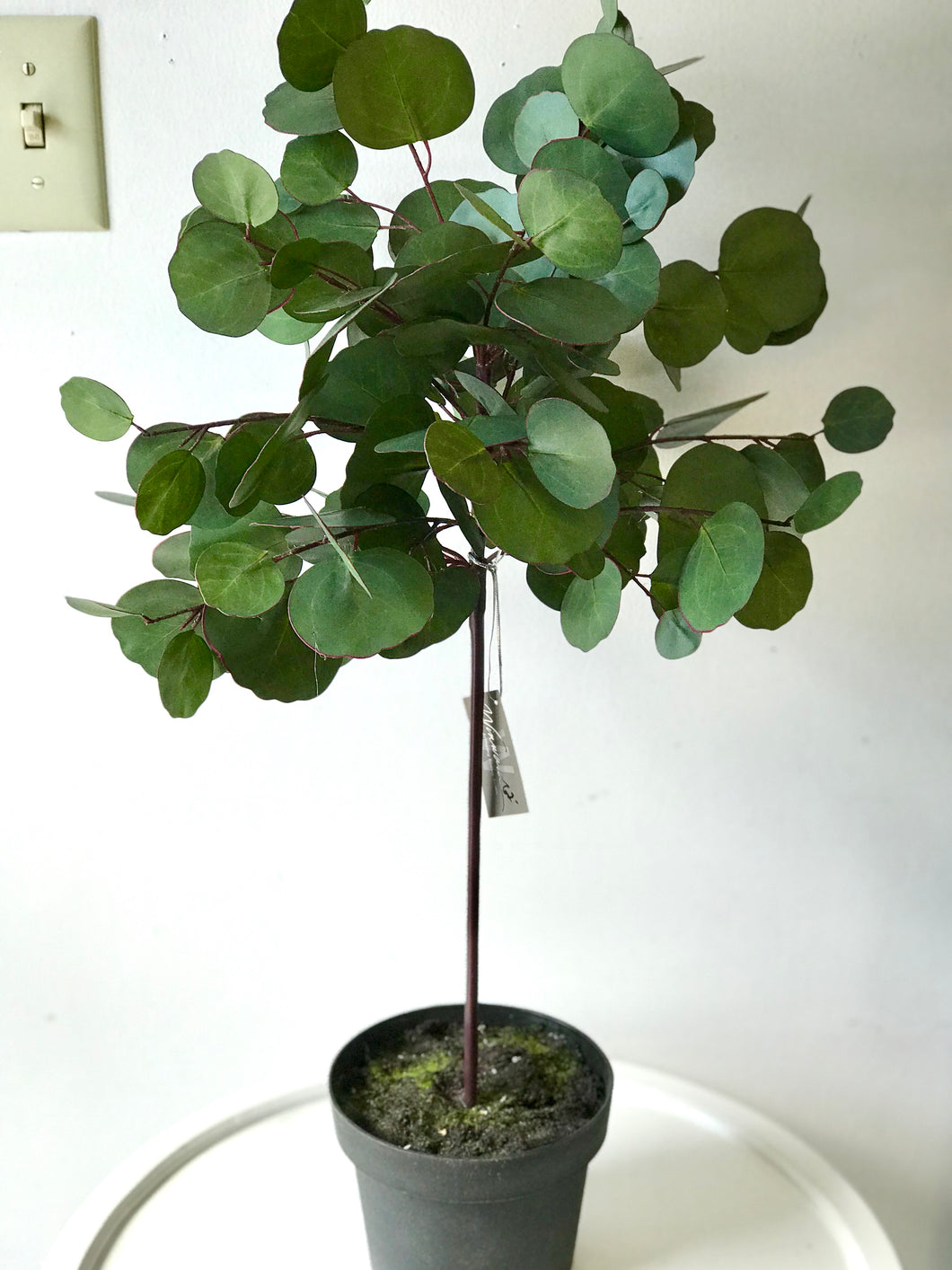 Eucalyptus Topiary in Pot 30