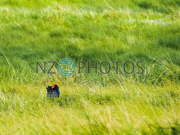 Pukeko In Ambury Regional Park Stock Photo