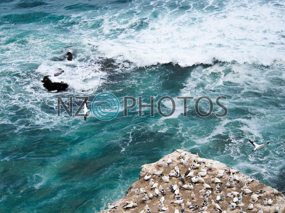 Muriwai Gannet Colony Stock Photo