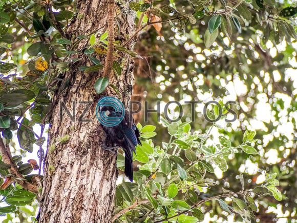 Tui Bird In A Tree Stock Photo