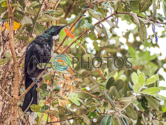 Tui Bird In Tree Stock Photo