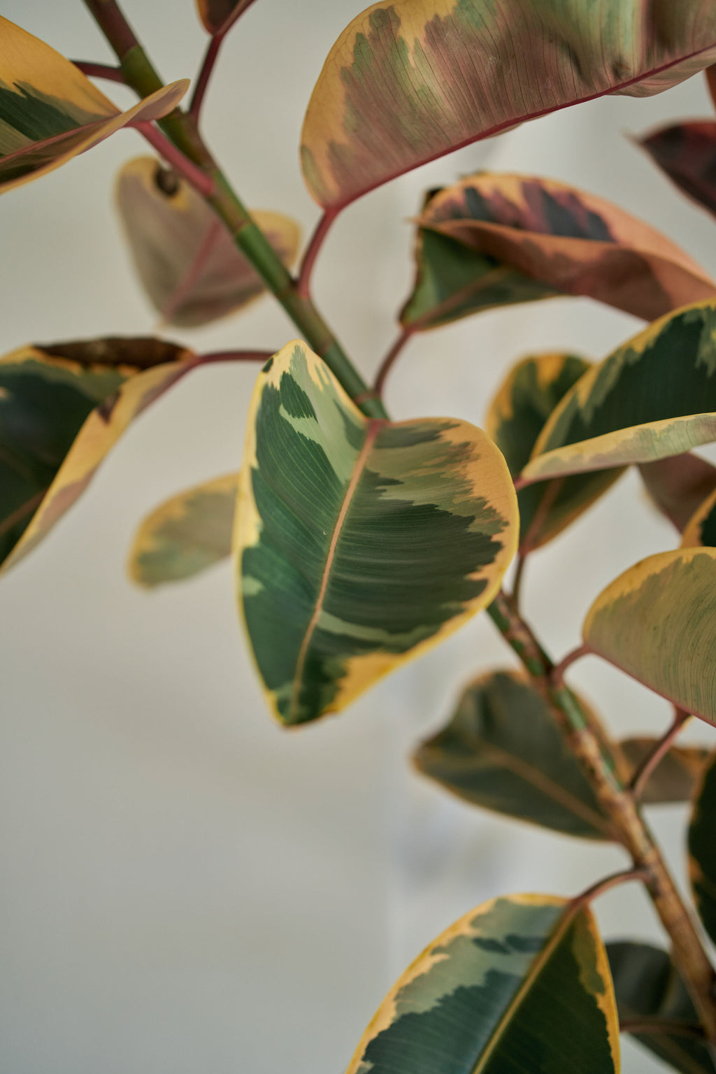 "Variegated ""Ruby"" Rubber Tree"