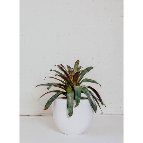 Feature Plant - Bromeliad - Green Features
