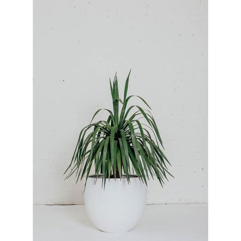 Feature Plant - Dragon Tree - Green Features