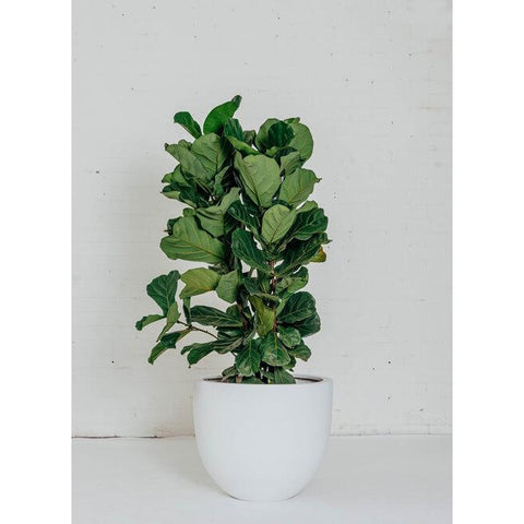 Feature Plant - Fiddle Leaf - Green Features