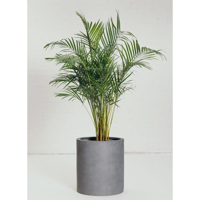 Feature Plant - Green Palm - Green Features