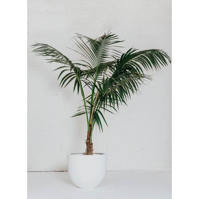 Feature Plant - Palms Kentia - Green Features