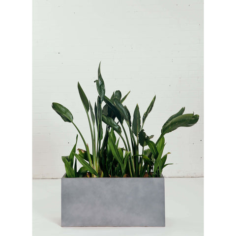 Screening Plant - Strelitzia Reginae - Green Features