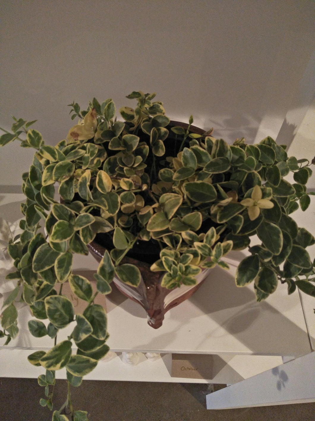 Potted plant - Vinca variegated