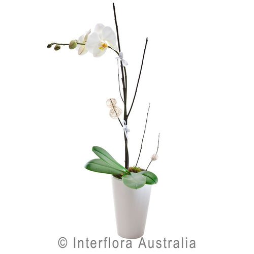 Exquisite Wandin Florist Orchid in a Ceramic Pot Flowers Arrangement Yarra Valley Lilydale