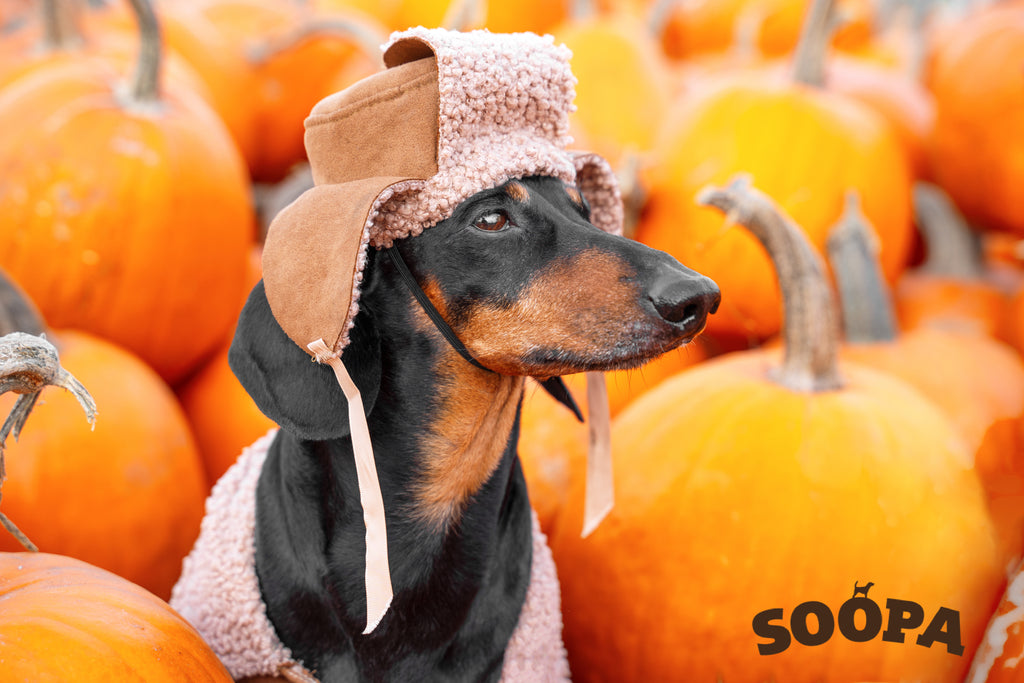 Reasons To Feed Your Dog Pumpkin 🎃