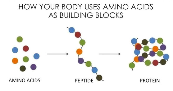 What Are Proteins (and What Do They Do)?