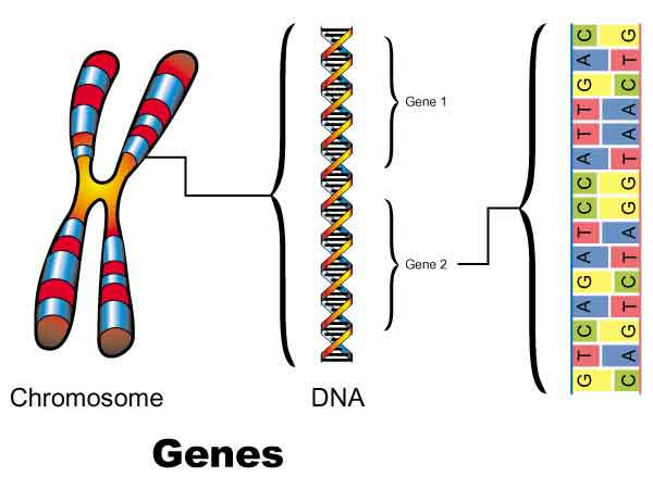 What Are Genes Made Of?